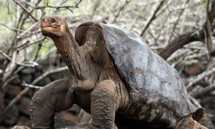 Large Galapagos tortoises, able to survive a year without eating and drinking, seem to prefer non-native plants when they break their fasts. (Rodrigo Buendia/AFP/Getty Images)