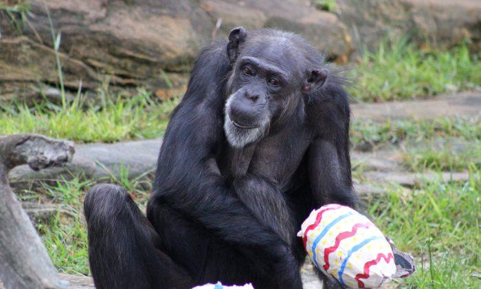 A chimpanzee enjoys an Easter treat at Taronga Zoo on March 31, 2015 in Sydney, Australia. (Paul Fahy/Taronga Zoo via Getty Images)