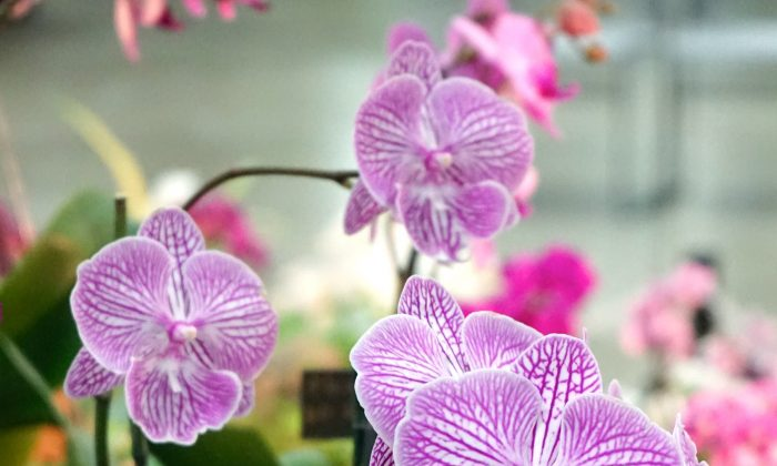 A prize-winning Phalaenopsis (moth orchid) at the Ottawa Orchid Show on April 18, 2015.