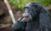 Female Chimps Do More Hunting With Tools
