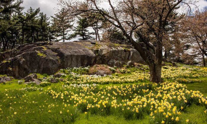 Daffodil Hill at the New York Botanical Garden in the Bronx, N.Y., on April 24, 2015. (Petr Svab/Epoch Times)