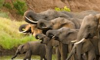 Hunter Who Killed 5,000 Elephants 'Totally Unrepentant'