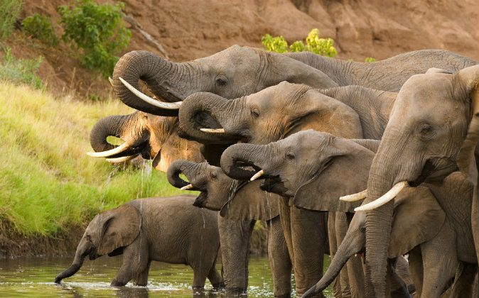 A herd of African elephants drinking at a waterhole in a stock photo. (Shutterstock)