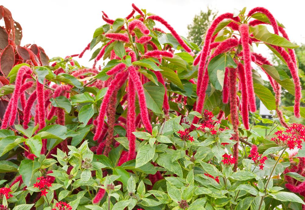 Amaranth caudatus (love lies bleeding) is one of three varieties of amaranth bred for grain. (Shutterstock.com)