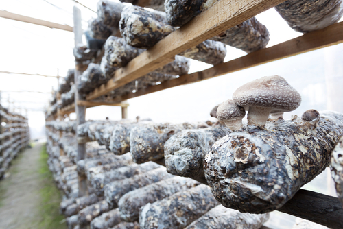 Mushroom cultivation facility in China, where most of the world's shiitake are grown. (Shutterstock.com)
