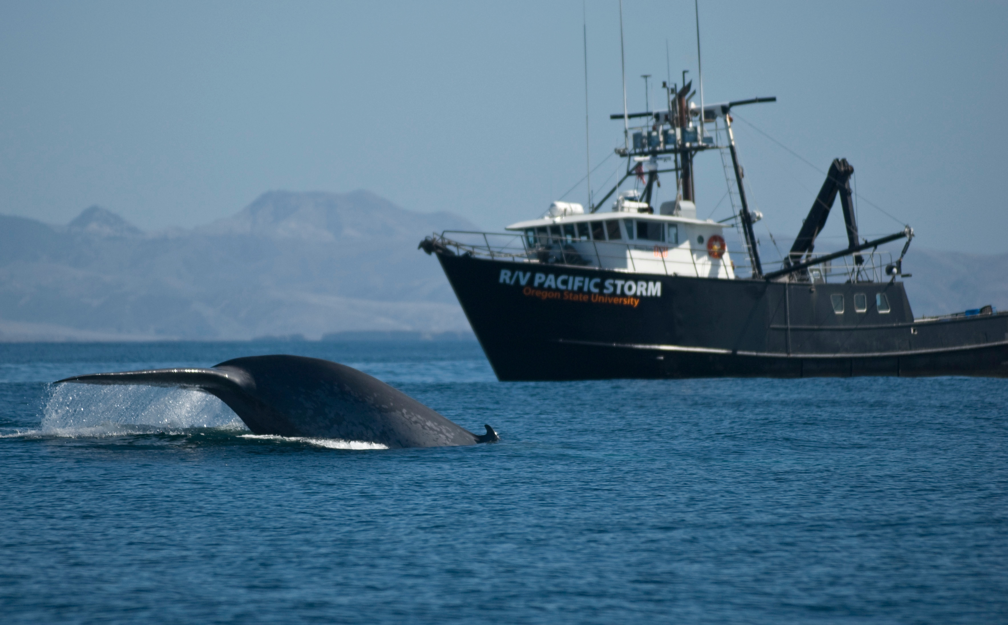 Why Blue Whales Won't Dive to Avoid Ships