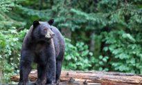 Close Encounters of the Black Bear Kind