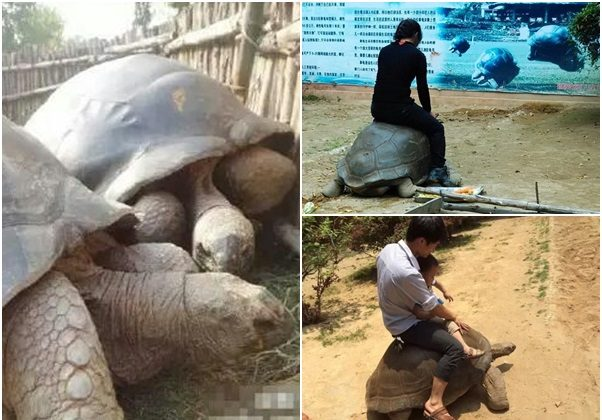 Photographs procured by Oriental Net, based in Hong Kong, show tourists riding giant tortoises at the Haicang Wildlife Zoo in Xiamen City, Fujian Province, recently. In some of the photographs the riders appear to be holding a screwdriver, used to prod the animal to walk. (Screenshot via Oriental Net)