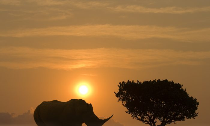 Facing extinction are well-known and iconic species such as elephants, hippos, all species of rhino, European bison, and Indian water buffalo. (Nieuwenhuisen/iStock)
