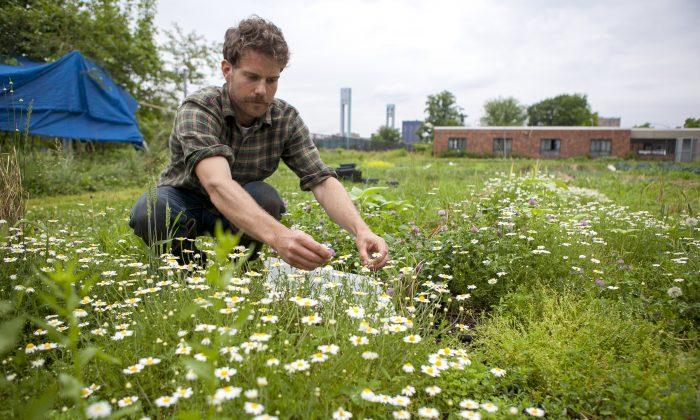 Farm manager Andrew Casner, at an urban farm on Wards Island, New York City, June 11, 2014. (Samira Bouaou/Epoch Times)