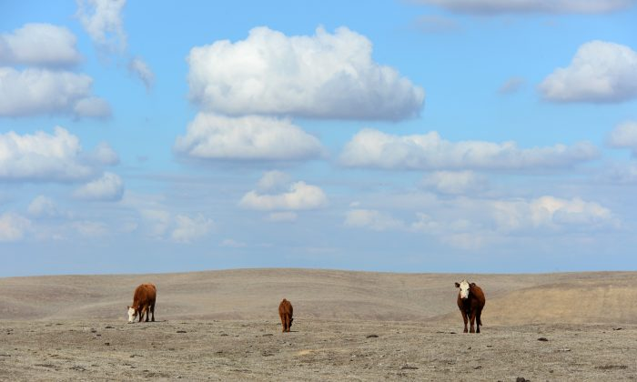 Cattle roam the dirt-brown fields of Nathan Carver's ranch on the outskirts of Delano, in California's Central Valley, on February 3, 2014. (Frederic J. Brown/AFP/Getty Images)
