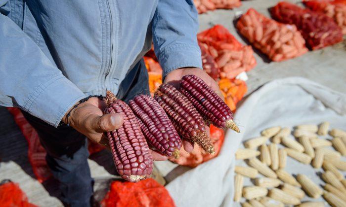 A field technician shows a few samples of heirloom corn. (Courtesy of Masienda)