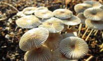Mysterious Mushrooms Get New 'Family Tree'