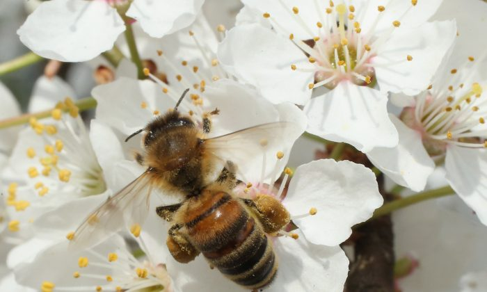 A bee harvests pollen from the flowers of a wild cherry tree near Berlin on April 25, 2013 in Blankenfelde, Germany. (Photo by Sean Gallup/Getty Images)