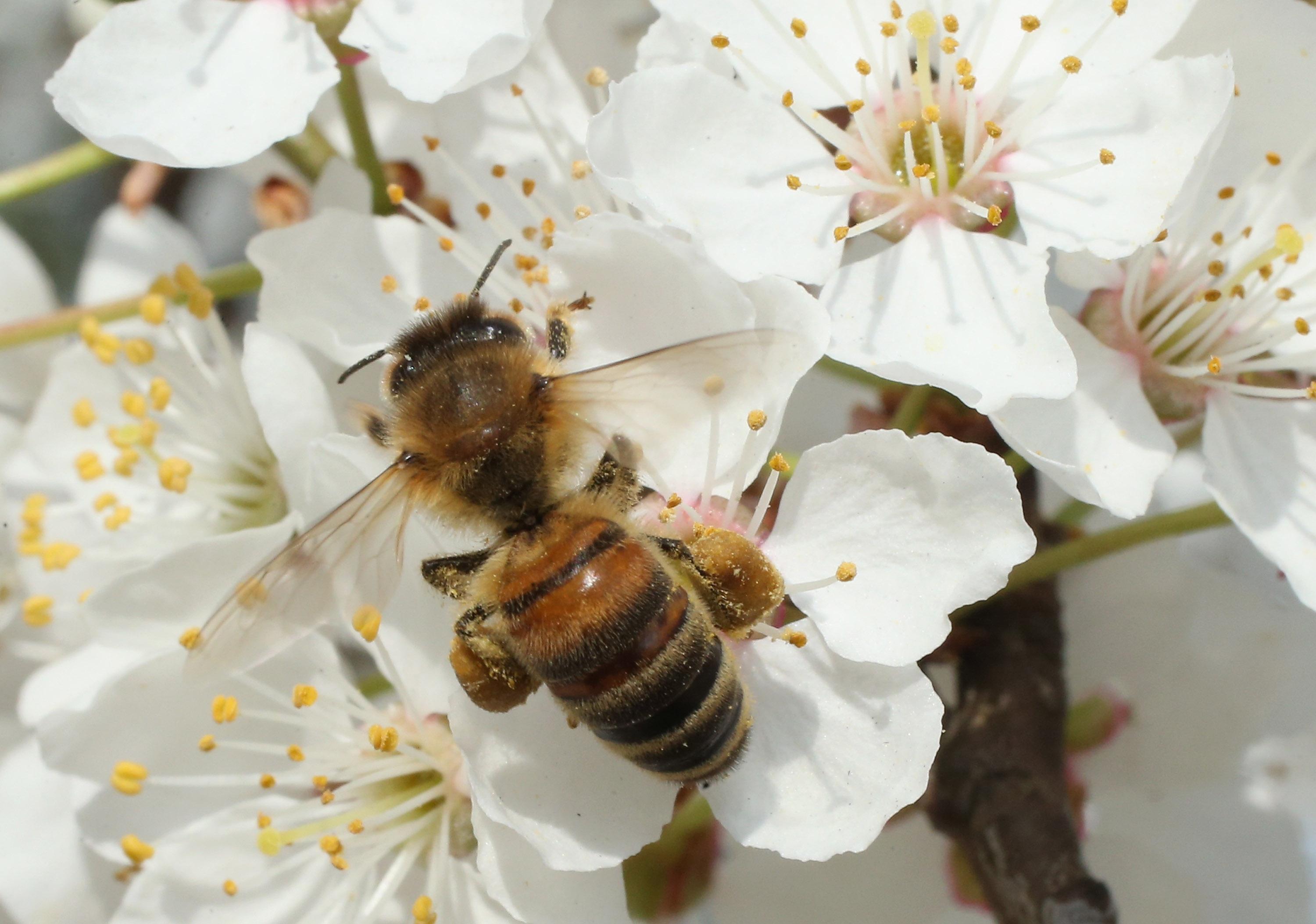 wild bees are dying because of pesticides on orchards scientists