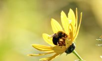 For Wild Bees on Farms, the More the Merrier