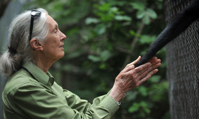 British anthropologist and primatologist Jane Goodall takes the hand of a Spider Monkey during her visit to the Rehabilitation Center and Primate Rescue, in Peñaflor, Chile, on Nov. 23, 2013. (Hector Retamal/AFP/Getty Images)