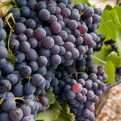 Grapes for Rose wines. (Manos Angelakis)