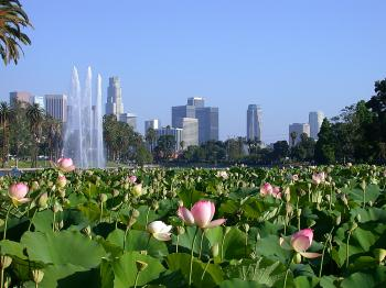 LOTUS FLOWERS IN ECHO PARK LAKE: As they appeared before dying out in 2008.  The Lotus flowers are expected to be back in 2010. (Dan Sanchez/The Epoch Times)
