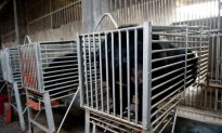 Chinese Live Bear Bile Extraction Company Seeks IPO
