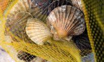 Botany Bay Shellfish Toxic