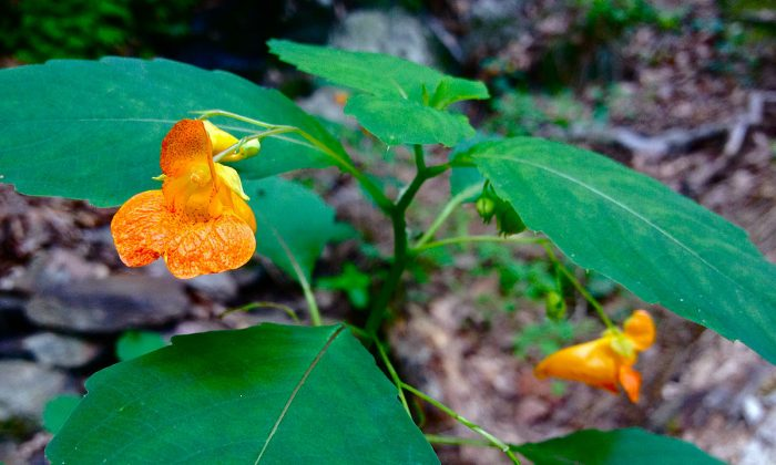 Impatiens capensis,  orange jewelweed (Fritzflohrreynolds/Wikimedia Commons)