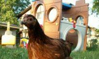Calgary Mulls Backyard Chickens