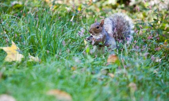 Central Park Squirrel Stocks Up for Winter (Photo)