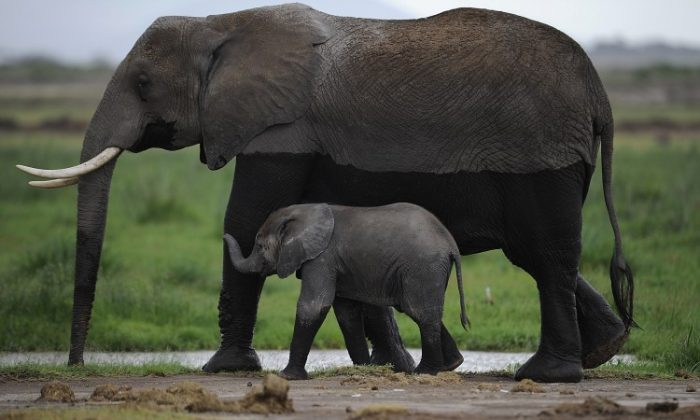Elephants in a file photo. (Philippe Lopez/AFP/Getty Images)