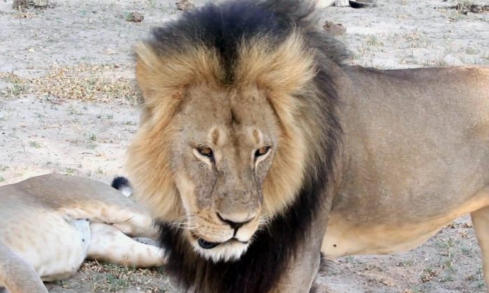 Big Lion Fends Off 20 Hyenas During Attack, Video Shows