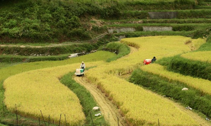 Negotiators appear to be giving Japan's rice farmers short shrift. (Buddhika Weerasinghe/Getty Images)