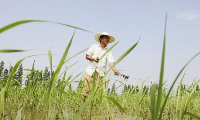 Chinese farmers work at hybrid rice planting field on June 20, 2006 in Changsha city, Hunan Province. Headlines in the Chinese media have been screaming about an American university conducting experiments on Chinese children using genetically modified rice. (Guang Niu/Getty Images)