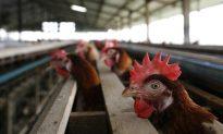 Australia's Island State Bans Battery Hens