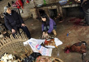 A young woman plucks chickens at a small market in the city of Kaili in China's southwest Guizhou province on January 21, 2009. (Peter Parks/AFP/Getty Images)