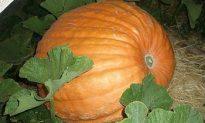 Pumpkinmania! Giant Pumpkin Weigh-off