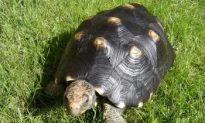 Asocial Tortoises Capable of Social Learning