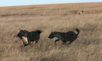 Hyenas' Giggles Are Informative, Research Finds