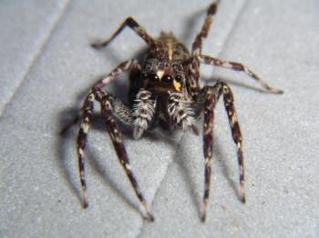 Papua New Guinean Jumping Spiders Open New Doors