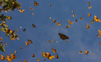 Monarchs crowd the sky at the Sierra del Chincua sanctuary in Angangueo, Mexico. Millions of monarch butterflies arrive in central Mexico each fall after traveling between 1,200 and 3,000 km from Canada and the United States. (Mario Vazquez.Getty Images )