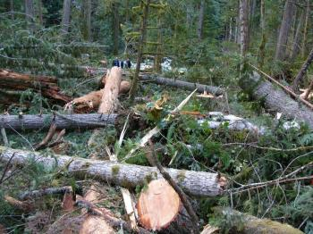 Trees lie abandoned on the ground after old-growth Douglas fir was heli-logged from a small island in Englishman River on Vancouver Island.  (Scott Tanner)