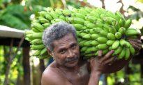 Samoa's Misiluki Bananas a Hit with Kiwi Consumers