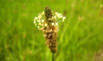Ribwort Plantain, The Rejuvenating Plant