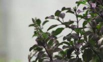 Tulsi: Queen of Herbs