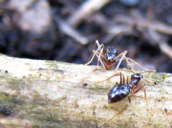 Fungus-Gardening Ant Discovered to Produce Asexually