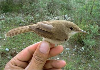 The Large-Billed Reed Warbler Rediscovered