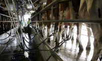 Too Few Hands for New Zealand's Dairy Industry
