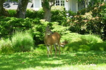 A white-tailed deer stands on a lawn in Victoria. Municipalities are struggling to find a solution to the problem of too many deer in urban areas.  (Joan Delaney/The Epoch Times)