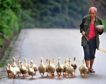 A farmer eats his lunch while following his flock of ducks along a country road in Guangyuan County on August 13, 2010 in northern Sichuan province. (AFP/Getty Images)