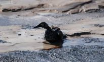 Duck Deaths Were a Mistake, Says Syncrude Lawyer