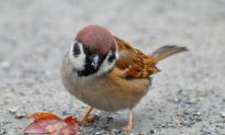 SCIENCE IN PICS: Tweet for the Sparrow